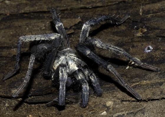 Calisoga spider? - Calisoga