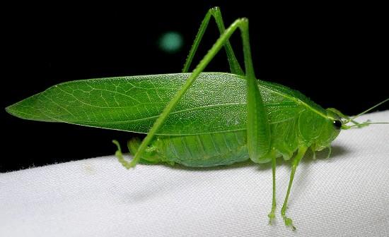 katydid - Turpilia - female