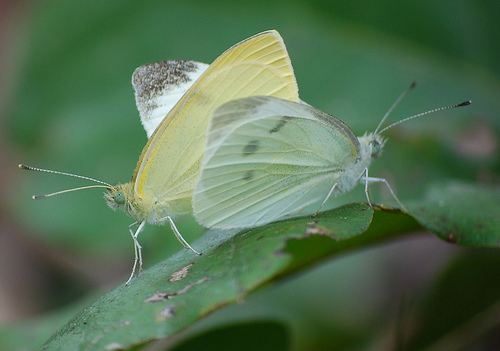 Cabbage White pair - Pieris rapae - male - female