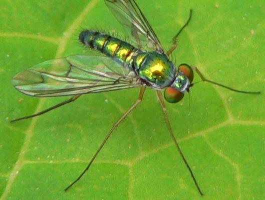 Longlegged fly - Condylostylus sipho - male
