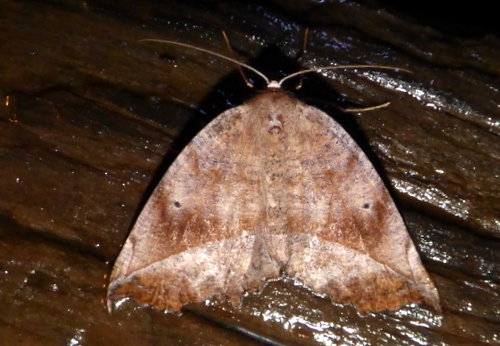3/12/18 moth - Eutrapela clemataria