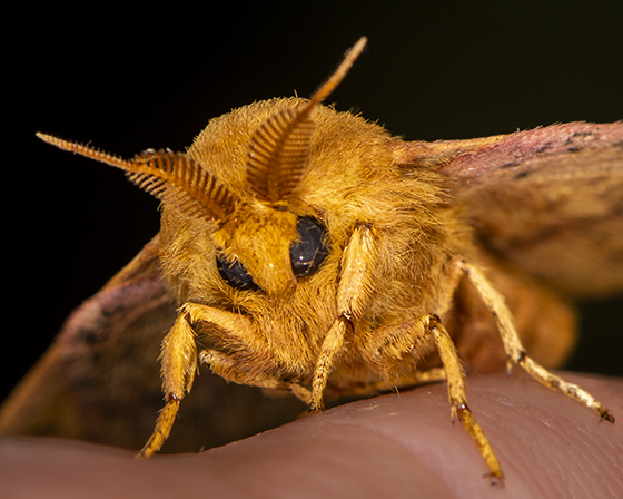 Spiny Oakworm Moth - Anisota stigma - male