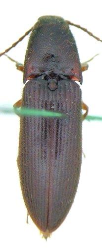 Dipropus soleatus - male