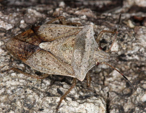 brown stinkbug? - Euschistus