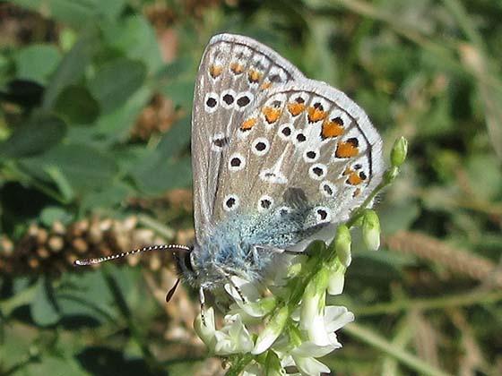European Common Blue - Quebec - Polyommatus icarus