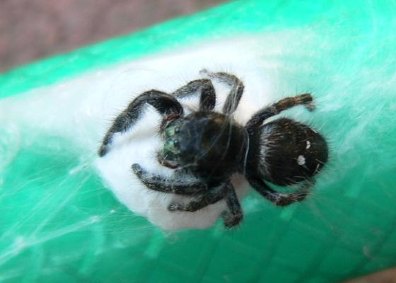 Bold Jumper Nest - Phidippus audax - female