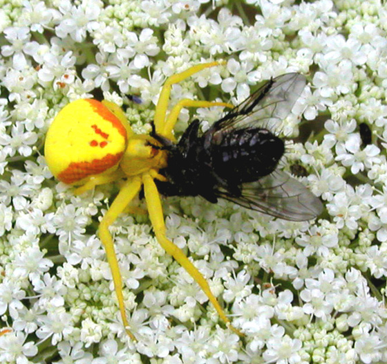 Yellow crab spider eating a horse fly? - Misumena vatia - female