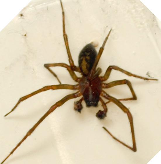 Amaurobid - Amaurobius ferox - male