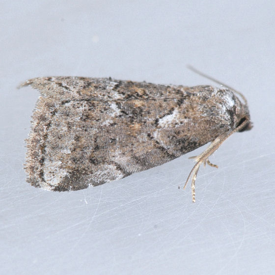 9038 White-lined Graylet ??? - Hyperstrotia nana