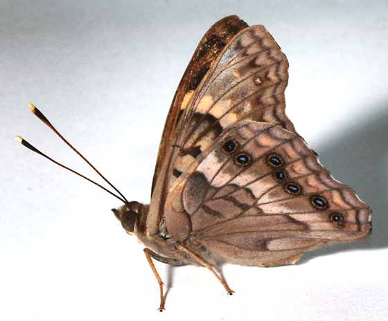 Butterfly to black light - Asterocampa clyton