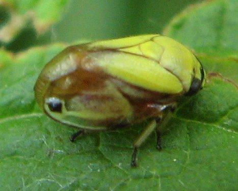 Dogwood Spittlebug - pale variety - Clastoptera proteus