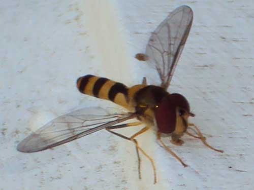 Mystery Bug - Meliscaeva cinctella