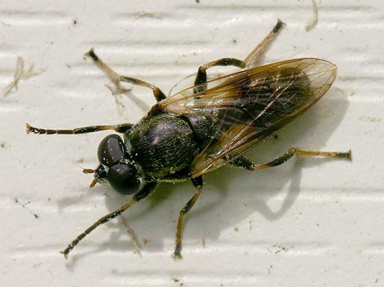 Tribe Xylotini? - Myolepta varipes - male