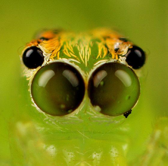 Magnolia Green Jumper Spiderling Eye Movement - Lyssomanes viridis