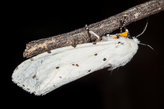 Tiger Moth - Estigmene