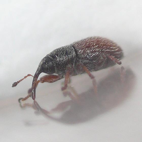 Gymnetron from Virginia (2) 10.06.17 - Mecinus pascuorum