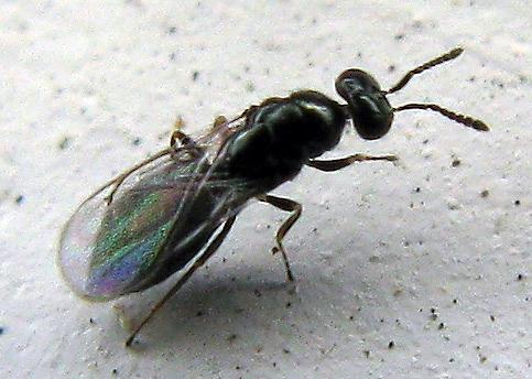 Wasp (Eulophidae)