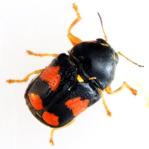red and black and yellow beetle - Griburius scutellaris