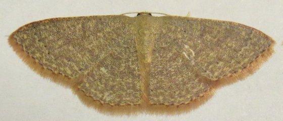 Common Tan Wave - Hodges#7132 - Pleuroprucha insulsaria