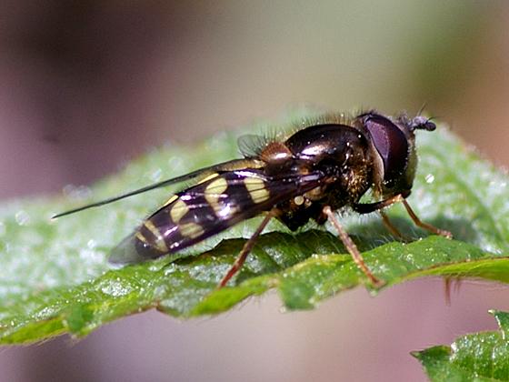 Syrphid Fly - Dasysyrphus intrudens - male