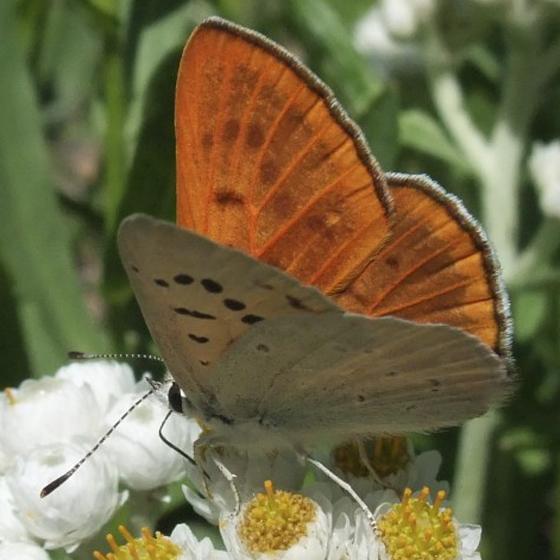 Ruddy Copper (Lycaena rubidus) ? - Lycaena rubida - male