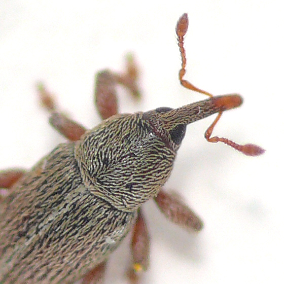 Weevil from Virginia 10.05.29 (1)  - Tychius stephensi