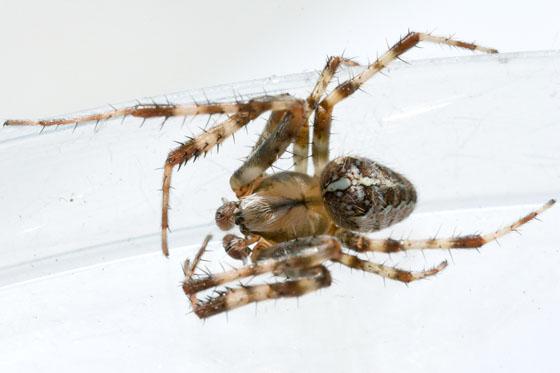 Araneus? - Araneus diadematus - male