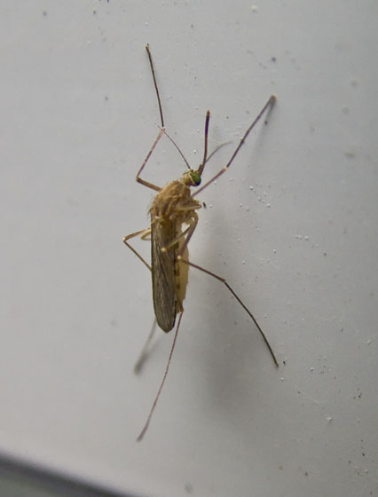 Green-eyed Mosquito - Culex pipiens - female