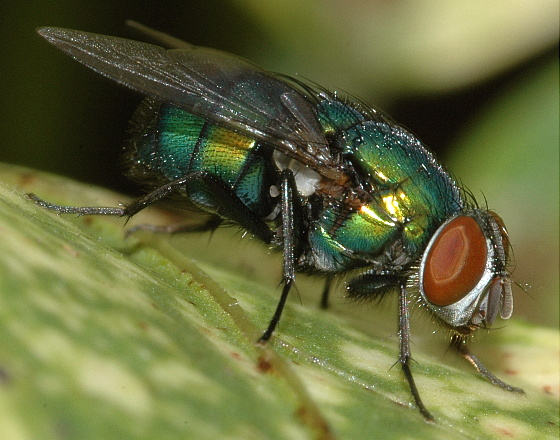 Greenbottle blow fly - Lucilia