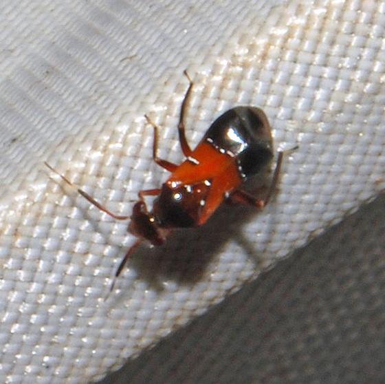 Tiny Odd Bug - Pilophorus furvus
