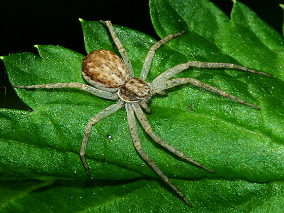 Running Crab Spider - Philodromus dispar