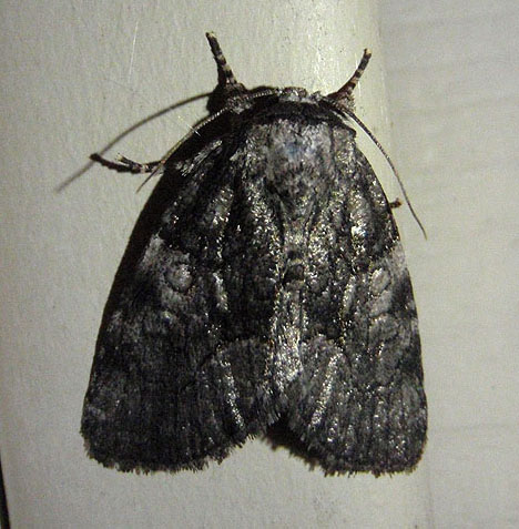 Black and Gray Moth