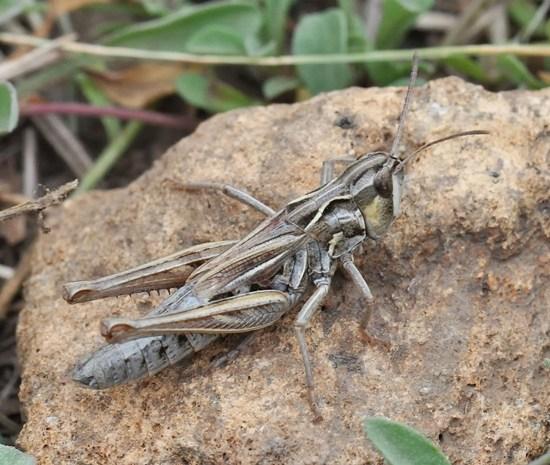 Club-horned Grasshopper - Aeropedellus clavatus - female