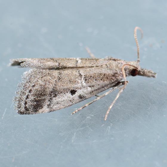 Moth for ID - Alpheioides parvulalis