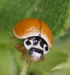 Cycloneda munda?  Polished Lady Beetle - Cycloneda munda
