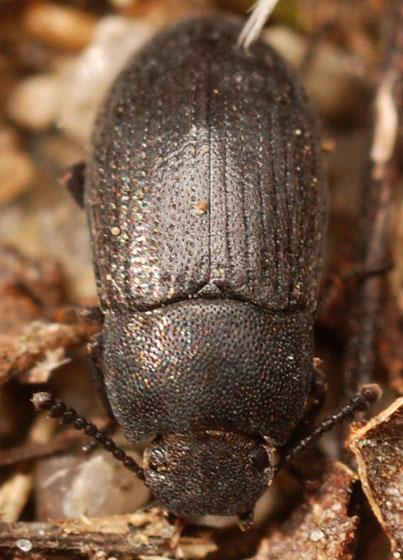 small darkling ground beetle - Blapstinus moestus