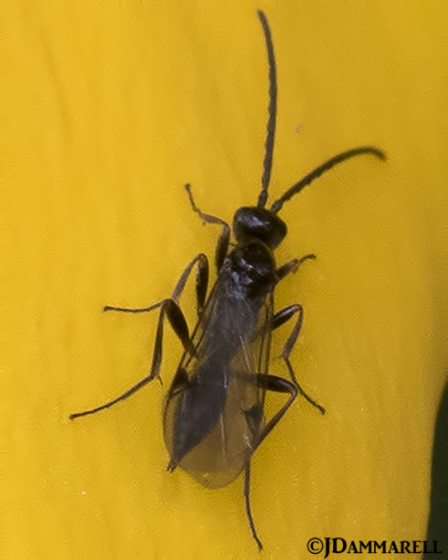 Unknown Wasp - Exallonyx