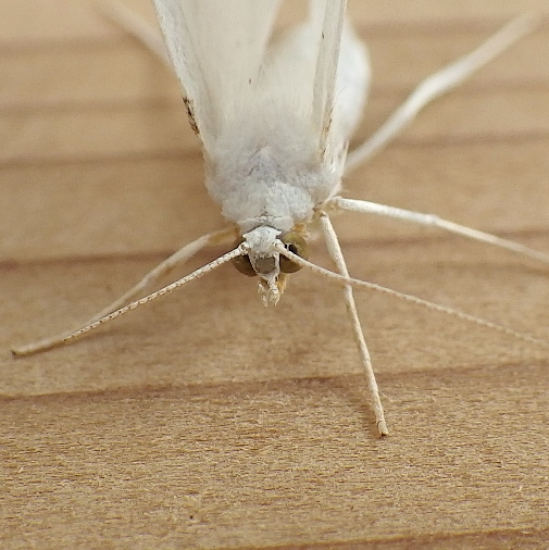 Geometridae: Cabera variolaria? - Cabera variolaria - female