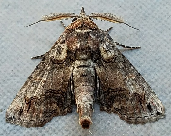 Paectes abrostoloides (Large Paectes) - Paectes abrostoloides - male