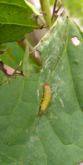 Tortricidae, Black-shaded Platynota larva - Platynota flavedana