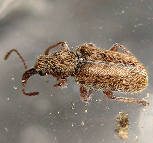 Pine Flower Snout Beetle - Cimberis elongata