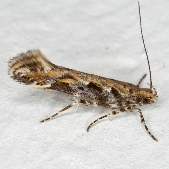 Gelechiidae IMG_6802 - Aristotelia calens