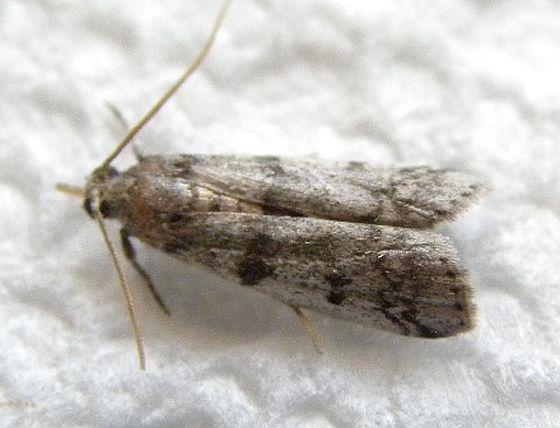 Baphala pallida - Baphala pallida