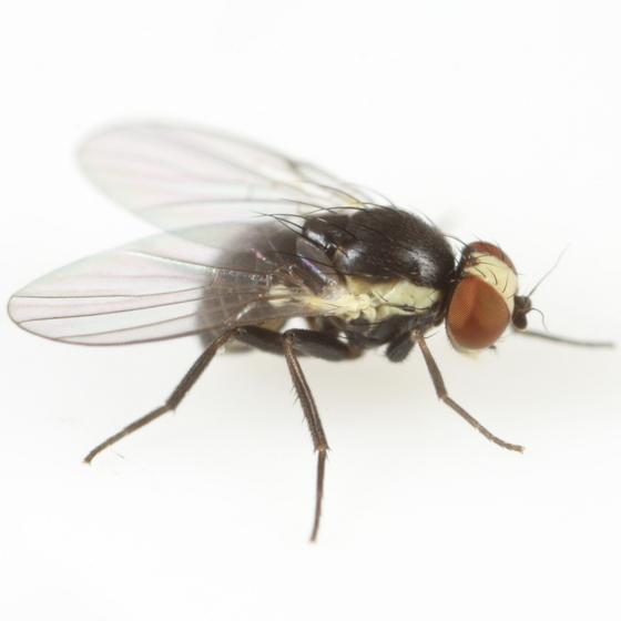 Calycomyza eupatoriphaga - male