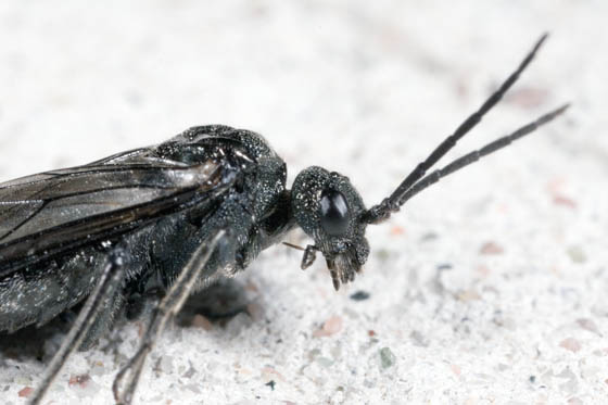 Tenthredinidae - Dolerus