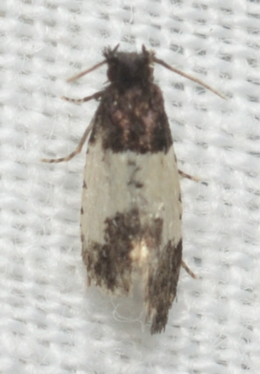 Kearfottia albifasciella