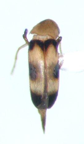 Mordellistena trifasciata