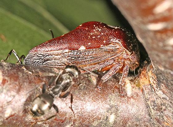 Treehopper - Carynota stupida