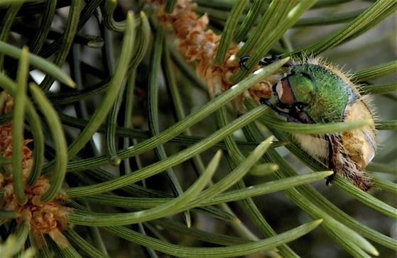 Nevada Beetle - Paracotalpa puncticollis