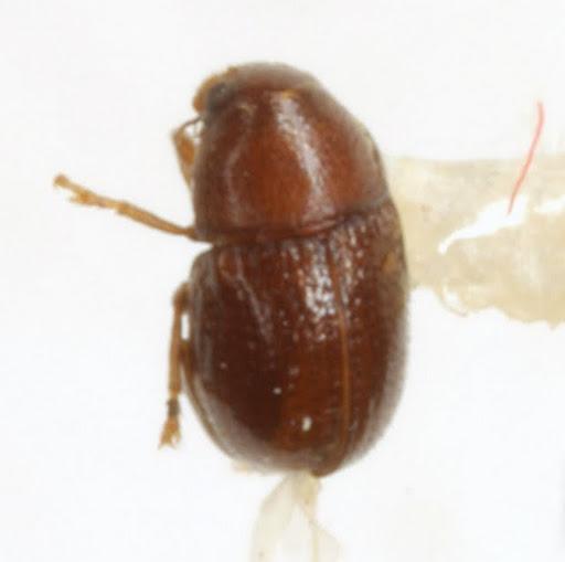 Pseudochoragus nitens (LeConte) - Pseudochoragus nitens